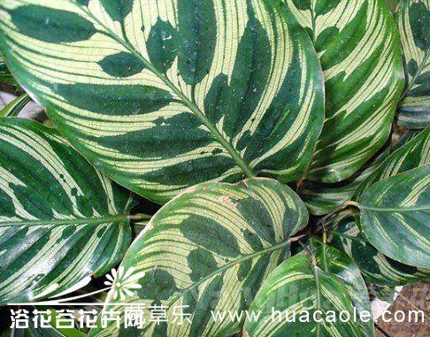 孔雀竹芋怎样栽培