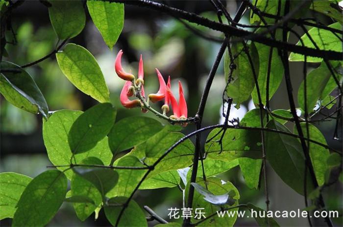 红红火火——红玉藤