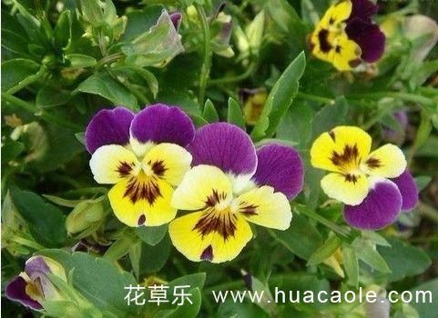 角堇的育苗、移栽和花期管理