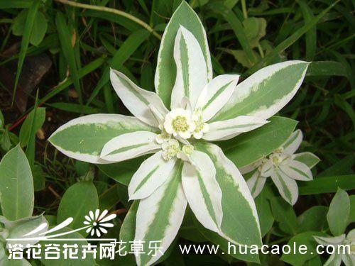 银边翠的栽培方法
