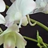 兰花叶子上有黑斑点怎么办