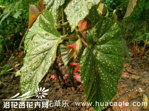 斑叶竹节秋海棠的养殖方法