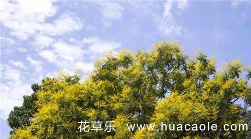 这种树,有的开着黄灿灿的花