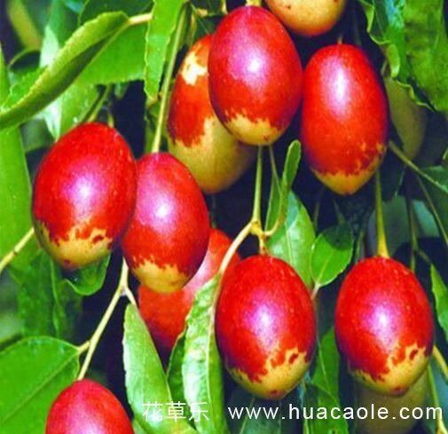 枣树缺钙得了苦痘病怎么防治