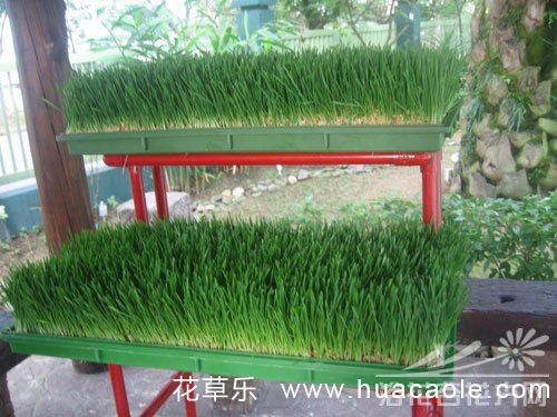 小麦草的种植方法