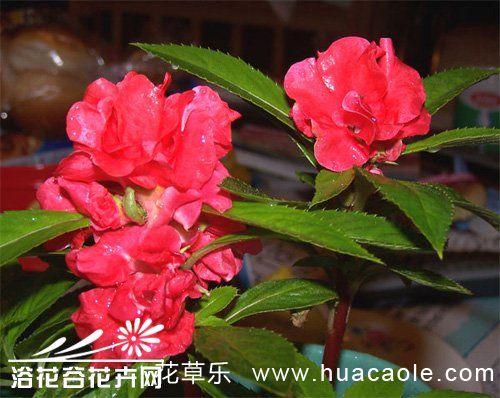 茶花凤仙的种植方法