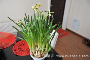 水仙花怎样养,水仙花的养殖方法