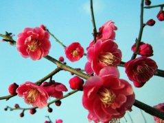 梅花花语大全