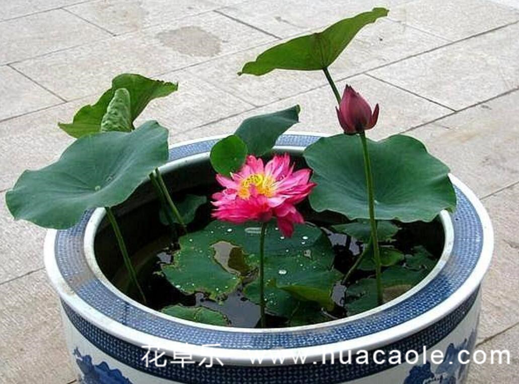 荷花盆栽的养护与管理技巧