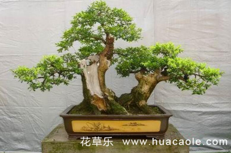 黄杨盆景制作养护与注意事项