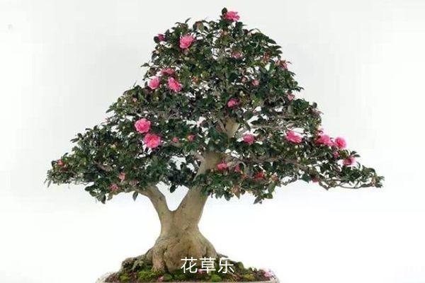 山茶花盆景的养护管理注意事项