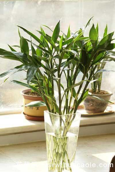 如何水养出漂亮的富贵竹?