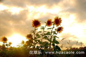 向日葵为什么会向着太阳转