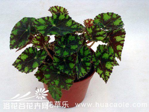 虎斑秋海棠的养殖方法