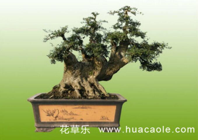 枫树盆景制作与养护