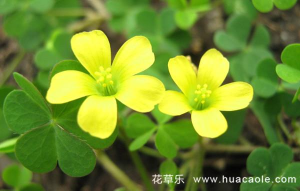 明丽的黄花酢浆草