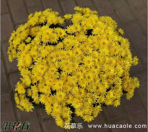 国庆菊的栽培要点