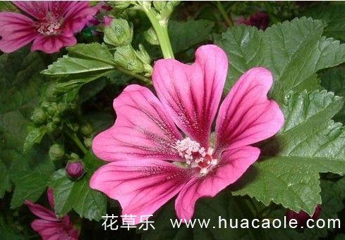 马络葵盆栽技术