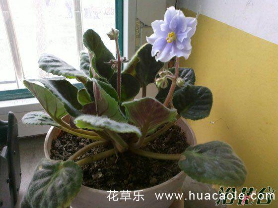 非洲紫罗兰花期