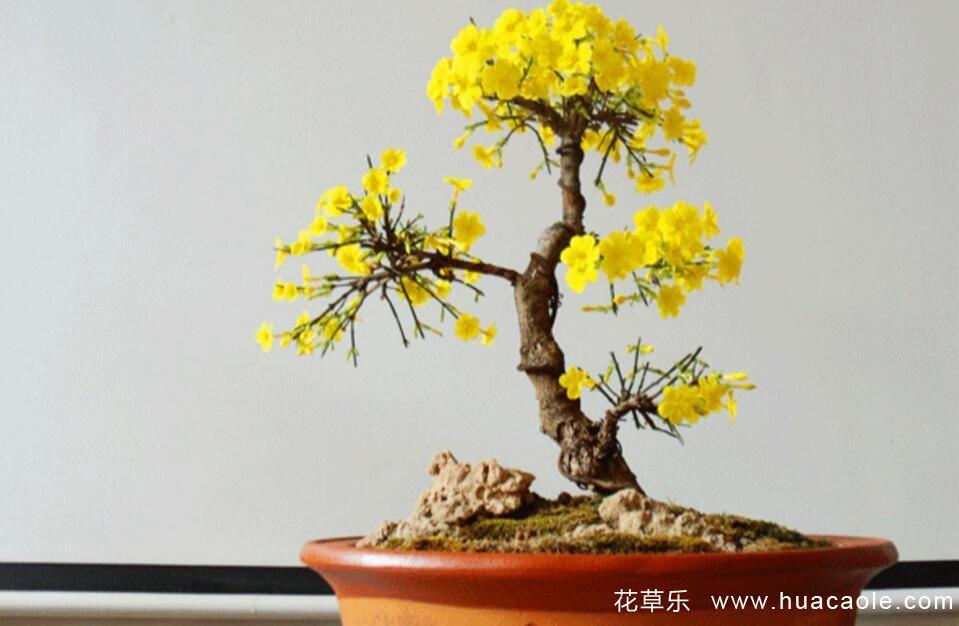 迎春花盆景的养护方法