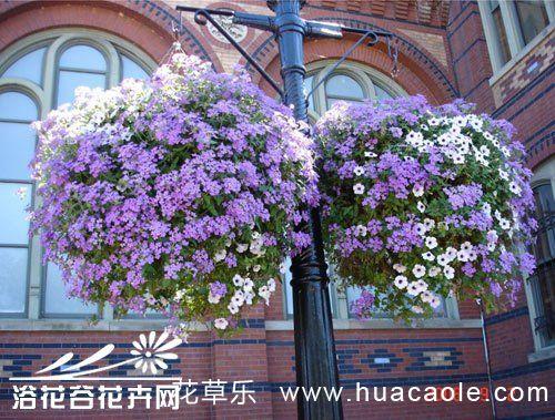 六倍利(翠蝶花)种植方法