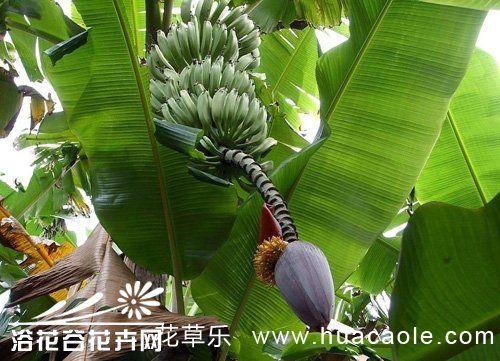 芭蕉的栽培方法