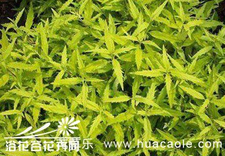 节水耐旱植物金叶莸的养护措施