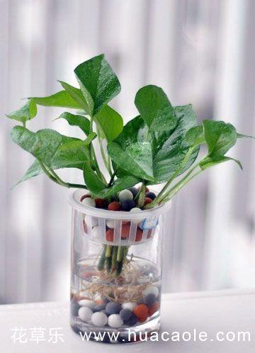 水培绿萝的方法及养殖要点