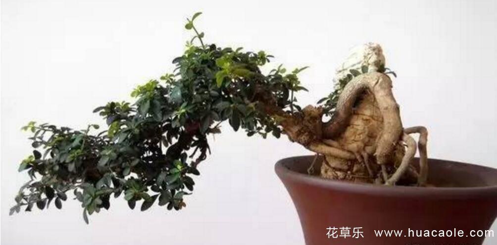 小叶女贞盆景的制作及养殖注意事项