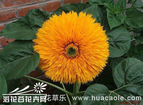 观赏向日葵怎么养?