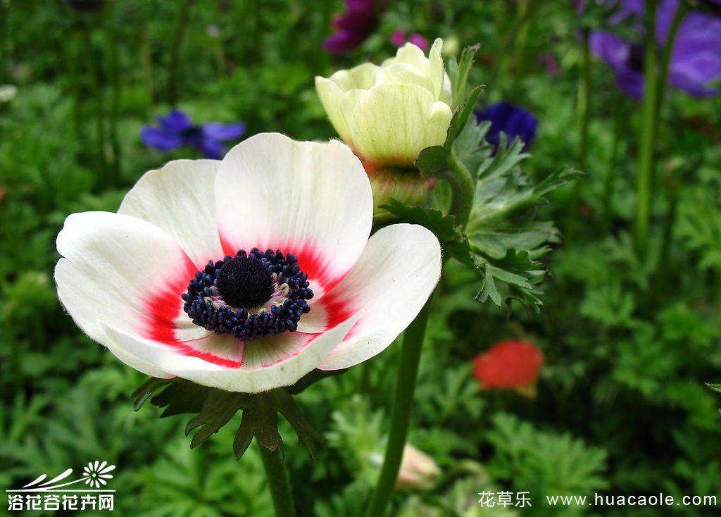 银莲花的养殖方法
