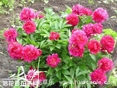 芍药花种植方法