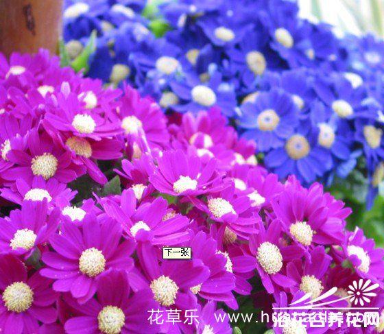 瓜叶菊的种植方法