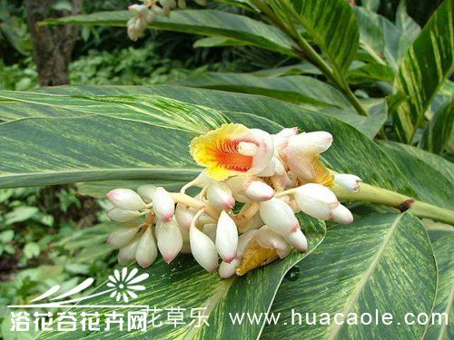 花叶艳山姜的养殖方法