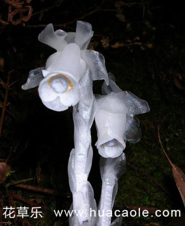幽灵之花——水晶兰