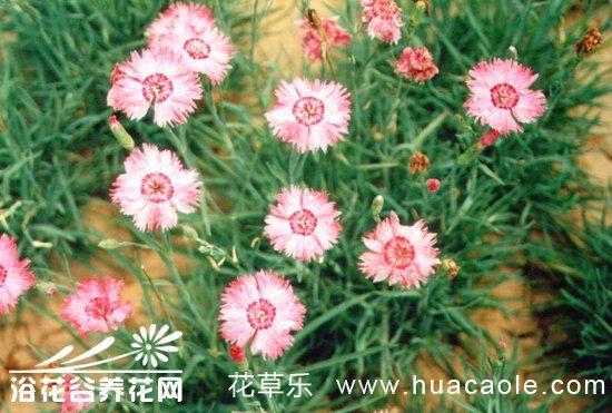 常夏石竹的繁殖与栽培